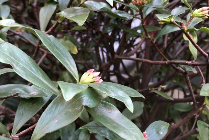 庭の沈丁花の蕾が膨らみ始めました。